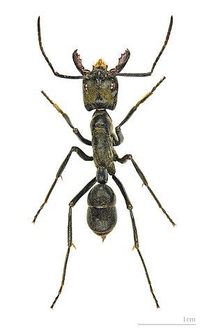 Dinoponera - Dinoponera quadriceps – MHNT