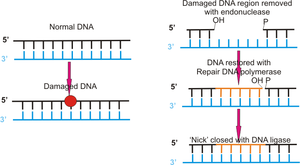 Illustration of mechanism of DNA repair