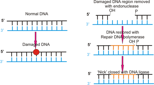 Dna repair.png