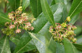 Dodonaea viscosa (Hopbush) W IMG 1899.jpg