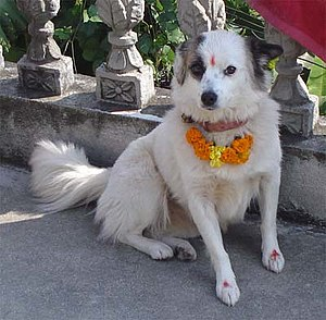 Animal worship - A dog after being decorated in the Kukur tihar festival in Nepal.