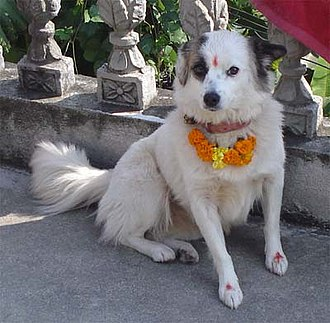 Tihar (festival) - A dog after being venerated during the Kukur Tihar festival in Nepal.