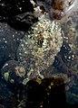 Dolabrifera nicaraguana - submerged-1.jpg