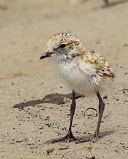 Double-banded Plover chick (cropped).jpg