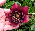 Double hellebore, dark red.JPG