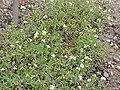 Draba lanceolata1.jpg
