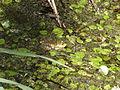 Dragoman marsh, Bulgaria 014.JPG