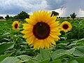 Drei Sonnenblumen im Feld.JPG