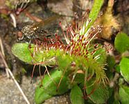 Drosera rotundifolia, Japan 3.JPG
