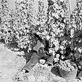 Druivenplukker aan het werk, Bestanddeelnr 254-4162.jpg
