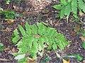 Dryopteris goldiana 0zz.jpg