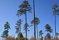 Duke Forest seed pines after timbering.jpg