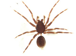 Orsolobidae Family of spiders