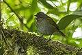 Dusky Bush-Tanager - Ecuador S4E5699 (22856133227).jpg