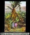 ETH-BIB-Bei Tamaraceite, Gran Canaria, indische Banane-Dia 247-07483.tif