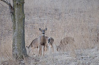 Eagle Creek Park - Image: Eagle Creek Park Deer grazing