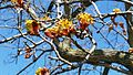 Early-spring-Thornden-red-maple-01.jpg