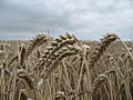 Ears of Wheat - Aylesham, Dover district of Kent - England.jpg