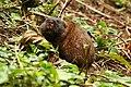 East African Mole Rat, Bwindi Forest Uganda.jpg