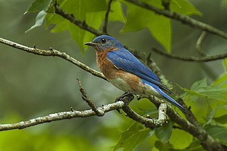 Bluebird - Image: Eastern Bluebird Texas H8O6505 (17048714229)