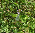 Eastern Forktail Damselfly (Ischnura verticalis) and Cabbage White Butterfly (Pieris rapea) on Heal-All (Prunella vulgaris) (5910130022).jpg