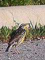 Eastern Meadowlark Mugshot (7423458436).jpg