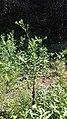 Eastern Tiger Swallowtail butterfly Eno River Hillsborough NC 103212 (30643775800).jpg
