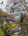 Eastern Wood Pewee spring From The Crossley ID Guide Eastern Birds.jpg
