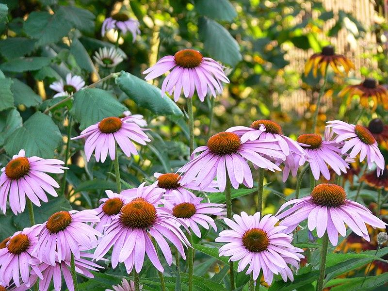 File: angustifolia.jpg Echinacea