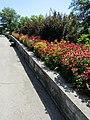 Echinacea border (28191029284).jpg