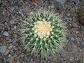 Echinocactus grusonii 2016-05-31 1777.jpg