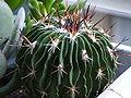 Echinofossulocactus.jpg