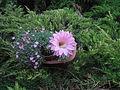 Echinopsis cactus 05.JPG