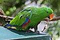 Eclectus Parrot Kuranda-1 (6285367117).jpg