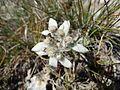 Edelweiss (6).JPG