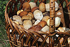 Edible fungi in basket 2013 G3.jpg