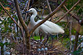 Egretta garzetta -Arignar Anna Zoo, Vandalur, Chennai, India -adult and eggs-8a.jpg