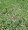 Egyptian Grass (Dactyloctenium aegyptium) (16796308304).jpg