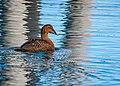 Eider Duck (15724455103).jpg