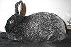 Eithel, black Silver Fox doe.jpg