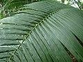 Elaeis oleifera (palme).jpg