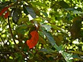 Elaeocarpus oblongus (16667999523).jpg