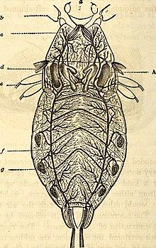 Pinacate insecto reproduccion asexual