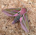 Elephant Hawkmoth. Deilephila elpenor - Flickr - gailhampshire (3).jpg