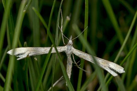 Emmelina monodactyla, Lodz(Poland)03(js).jpg