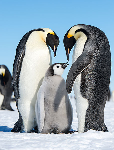 454px-Emperor_Penguins_(15885611526).jpg (454×599)
