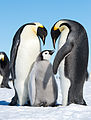 Emperor Penguins (15885611526).jpg