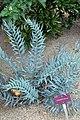 Encephalartos ferox Brest.jpg