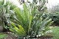 Encephalartos msinganus 2zz.jpg
