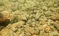 Encroutements bactériens dans la rivière Course, Beussent (62) mi-2017 a 14.jpg
